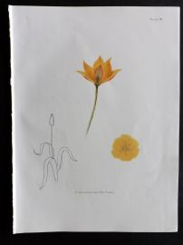 Dykes 1930 Botanical Tulip Print. Sylvestris from Mt. Athos 03